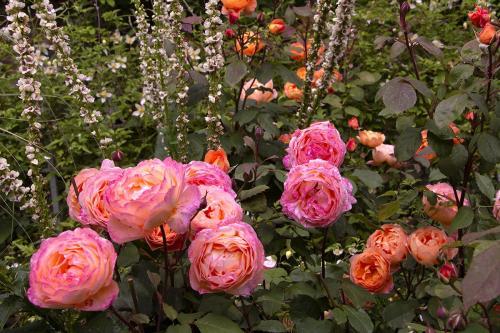 rose 4 WEB
